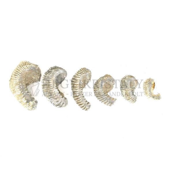 Kagyló kövület